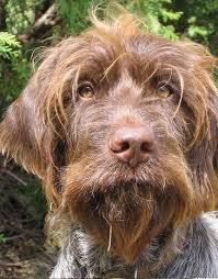 Griffon German Wirehaired Pointer Shedding by Wirehaired Pointing Griffon Breed Information History Health