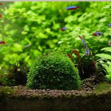 Aquarium Mineral Stone Suspended Float Moss Ball Fish Tank ... Adrie Baumann And Aquascaping Aqua Rebell Natural Httpwwwokeanosgrombgwpcoentuploads2012 Amazoncom Aquarium Plant Glass Pot Fish Tank Aquascape Everything About The Incredible Undwater Art Outstanding Saltwater Designs Photo Ideas Anubias Nana Petite Planted Freshwater Beautify Your Home With Unique For Large Fish Monstfishkeeperscom Scape Nature Stock 665323012
