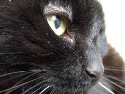 cat dandruff causes symptoms treatment cat world