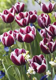 fontainebleau tulips bulbs exclusive chelsea tulips bulbs buy