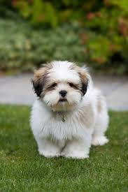 lhasa apso puppy shedding historically the lhasa apso was bred as a guard for buddhist