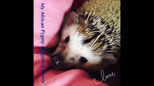 Ceramic Heat Lamp For Hedgehog by My African Pygmy Hedgehog And Care Youtube