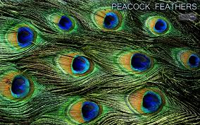New Peacock Feather HDQ Cover Wallpapers