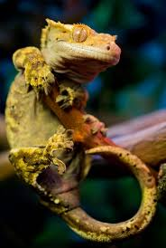 Crested Gecko Shedding Behavior by 202 Best Images About Reptiles On Pinterest Devil Dragon And