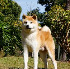 Do American Akitas Shed by Care And Behavior Of The Akitas