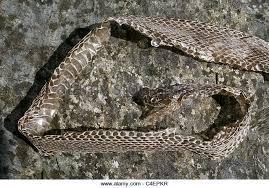 snake skin shed stock photos snake skin shed stock images alamy