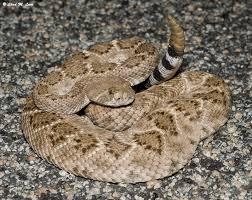 western diamond backed rattlesnake crotalus atrox