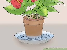 how to grow anthurium plants 15 steps with pictures wikihow