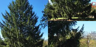 Christmas Tree Rockefeller 2017 by The 2017 Rockefeller Christmas Tree Will Be From State College