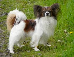 Dogs That Dont Shed Or Bark by 100 Small Breed Dogs That Dont Shed Choosing The Right Dog