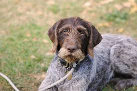 Do Wirehaired Vizslas Shed by German Wirehaired Pointer Wallpapers Hd Download