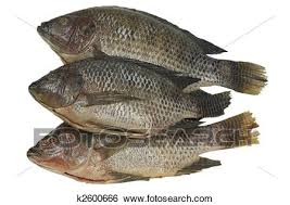 Fresh Tilapia Fish Isolated Clipping Path Included
