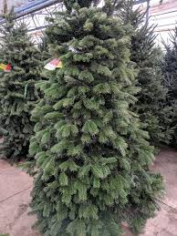 Nordmann Fir Christmas Trees Wholesale by Tagawa U0027s Five Steps For The Best Christmas Trees Ever