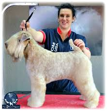 Do Wheaten Terrier Puppies Shed by Soft Coated Wheaten Terrier In An Easy Pet Trim Part 2 Of 4 Part