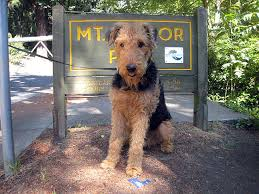 Do Airedale Puppies Shed by Everything About Your Airedale Terrier Luv My Dogs