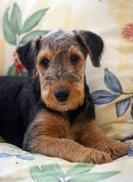 Do Airedale Puppies Shed by 36 Best Airedale Terrier Images On Pinterest Airedale Terrier
