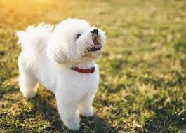 Cute Non Shedding Dog Breeds by 10 Hypoallergenic Dog Breeds That Don U0027t Shed Purewow