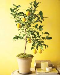 Grow Lamps For House Plants by Grow Citrus Indoors Martha Stewart