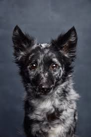Do Pomskies Shed Fur by 12 Best My Cute Pomsky Images On Pinterest Animals Pomsky