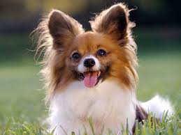 Non Shedding Dogs Small To Medium by Low Shedding Dog Breeds Low Shedding Dog List