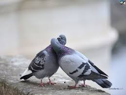 Kissing | Pigeon Love | Pinterest | Kiss, Bird And Beautiful Birds 100 How To Get Rid Of Pigeons On My Roof The Loft Design Dave Keep Birds Out Birdbgone Blog 4 Ways To Of Starlings Wikihow Dairy Barns Birdfree With 3 Tips Avian Control 25 Unique Pigeon Repellent Ideas On Pinterest Obama Care Dealing Barn Farmtek Panting In Racing When Is It Normal And Not Air Rifle Hunting 6 Shooting Pigeons Pest Control Youtube Fat Cuuute Eye Spy Bird Animal Selective Breeding Deterrents Why Uv Light May Be The Answer B