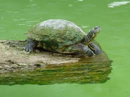 Turtle Shell Not Shedding by Turtle First Aid U2013 Turtles And Algae All Turtles