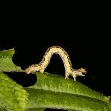 frostspanner bekämpfung pflanzen vor raupen schützen