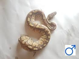 Ball Python Shedding Eating by Ball Python Reptiles Rehome Buy And Sell In South Wales Preloved