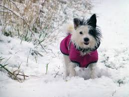 Are Christmas Trees Poisonous To Dogs Uk by Pet Winter Care Keeping Your Dog Cat And Pet Warm During Winter