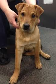 Do Shar Pei Lab Mix Shed by Labrador Shar Pei Mix This Is An Adorable Pup
