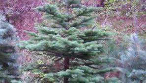 Christmas Tree Permits Colorado Springs by Eldorado National Forest Invites Families To Enjoy Holiday