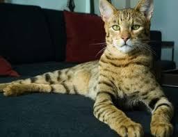 shorthair cat price best 25 bengal cat price ideas on bengal house cat
