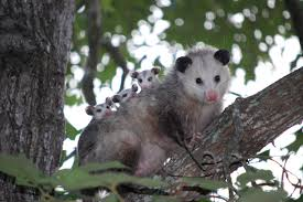 Wild Birds Unlimited: Natural Predators Of Ticks All About Opossums Wildlife Rescue And Rehabilitation Easy Ways To Get Rid Of Possums Wikihow Animals Articles Gardening Know How 4 Deter From Your Garden Possum Hashtag On Twitter Removal Living In Sydney Opossum Removal Services South Florida Nebraska Rehab Inc Help Nuisance Repel Gel Barrier Sealant For Squirrels And Raccoons To Of Terminix