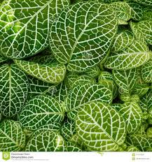 100 The Leaf House Beautiful Green Leaves On Laceleaf Plant Stock