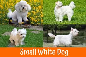 Small Dogs That Dont Shed Hair by 100 Best Dogs That Dont Shed Best 20 Small Dog Breeds Ideas