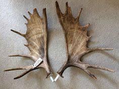 shiras moose skull mounted on custom made 28 walnut panel