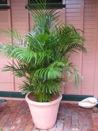golden palm in pots my palms not sure of the names of a few and need help to