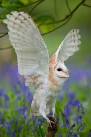 87 Best I Love Owls Images On Pinterest | Beautiful Owl, Barn Owl ... Barn Owls On Oak Beam Uk Bird Small Mammal Taxidermist Mike Gadd Owl Family Clipart Night Owl Pencil And In Color Barn Baby By Disneyqueen1 Deviantart All Things Things You Always Wanted To Know About Keeping As Pets Portrait Of A During Falconry Traing Dubai Uae The Centre Staffvolunteers Gallery My Maltese Falcon A Day Falconry Speck The Globe 130109 130110 Wildlife Center Virginia Lydias Video Youtube