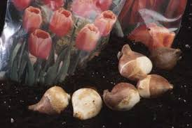 how to store tulip bulbs for fall planting home guides sf gate