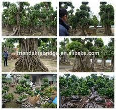 pot bonsai grande taille grande taille moyen taille en plein air en forme