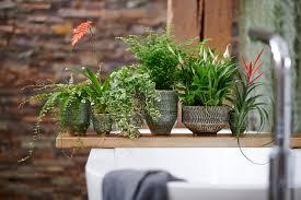 badezimmerpflanzen zimmerpflanzen des monats mai vida verde