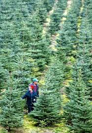 Kinds Of Christmas Trees by Outdoors Here U0027s Where To Cut Your Own Christmas Tree Seattle