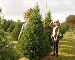 Leyland Cypress Christmas Tree Farm by A Christmas Tree U0027s Path To San Antonio San Antonio Express News