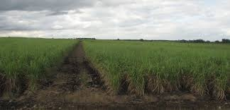 Cuba The Antillean Landscape Sugar Cane