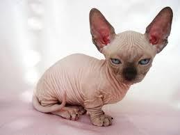 munchkins cats hairless munchkin cat cats