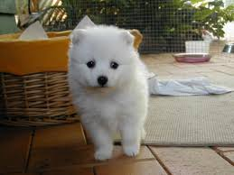 Do Samoyeds Shed All The Time by Japanese Spitz History Personality Appearance Health And Pictures
