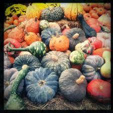 Pumpkin Picking Connecticut Shoreline by Scottsfarms Com Essex Farm