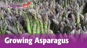 planting and growing asparagus growing asparagus