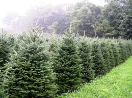 Fraser Fir Christmas Trees Nc by North Carolina Fraser Fir North Carolina Fraser Fir Christmas