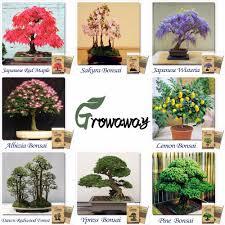 Christmas Tree Saplings Ireland by Online Buy Wholesale Bonsai Tree Seeds From China Bonsai Tree